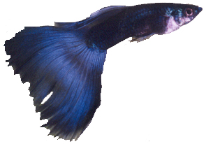 blue male guppy