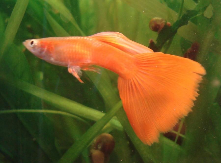 Orange Guppy Fish Small male guppy orange male Guppy Fish Eggs In Tank
