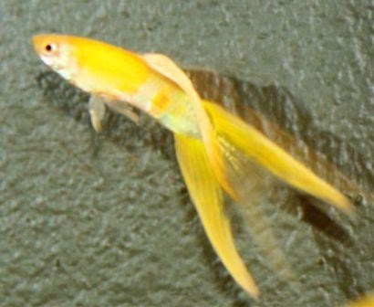 yellow split tail male guppy